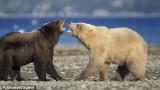 L'orso polare si é evoluto di recente discendendo dall'orso bruno