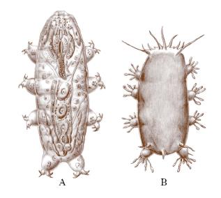 Fig. A: Eutardigradi Fig. B: Eterotardigradi