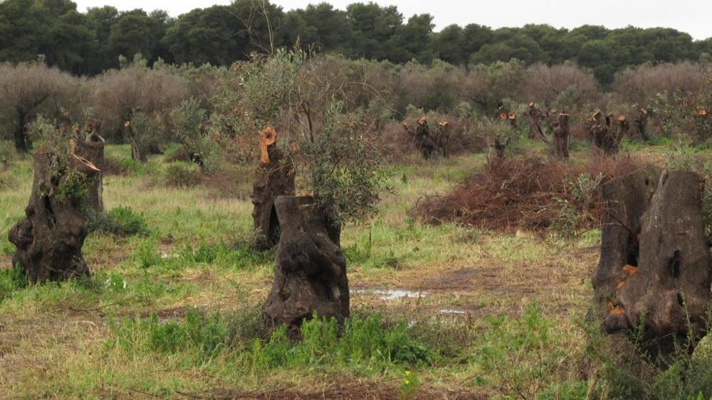 Abbattimento di ulivi secolari per la presunta infezione da xylella
