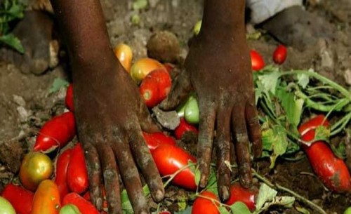 Pomodori rosso sangue - Le mani della mafia sul caporalato