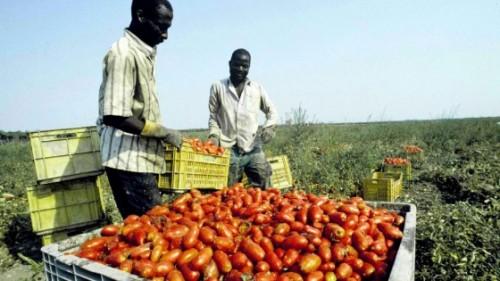 Puglia, la raccolta dei pomodori: i nuovi schiavi vittime del caporalato